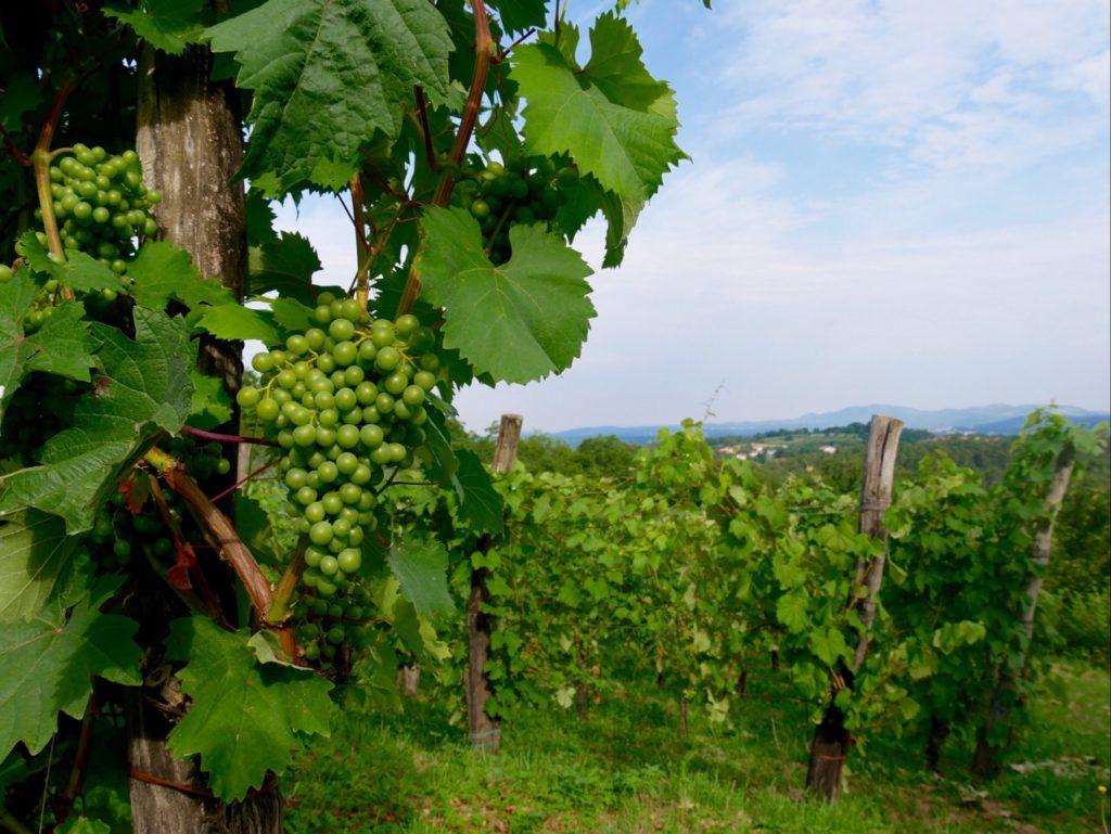 FINOVINO Sloveense wijngaarden.