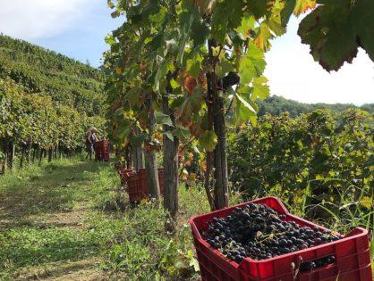 Wijnoogst in de Vipava vallei