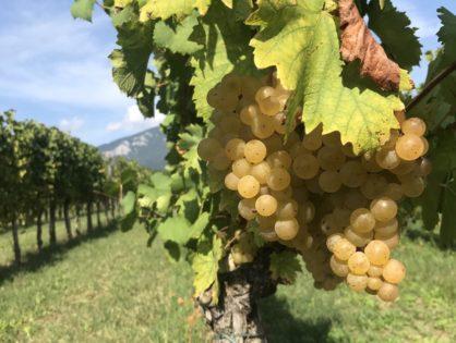 Het kloppend hart van de Sloveense wijncultuur