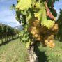 FINOVINO Sloveense wijnen – de rebula druiven