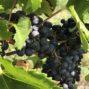 FINOVINO Sloveense wijnen – de merlot druif